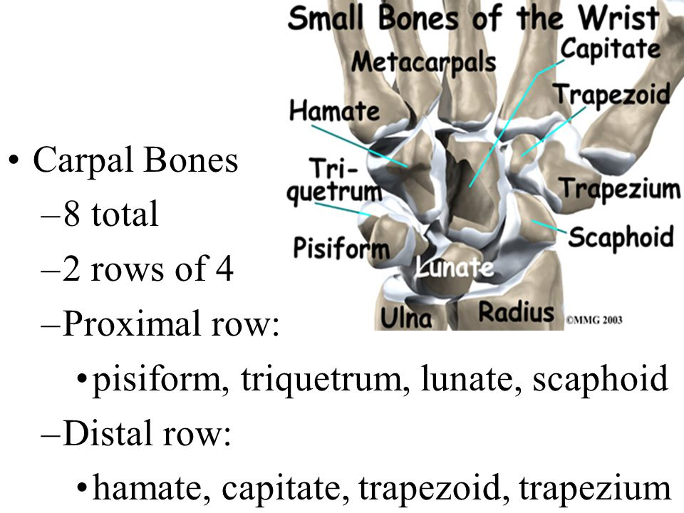 Carpal Bones 8 total. 2 rows of 4. Proximal row: pisiform, triquetrum, lunate, scaphoid. Distal row: