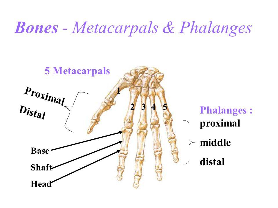 Bones - Metacarpals & Phalanges