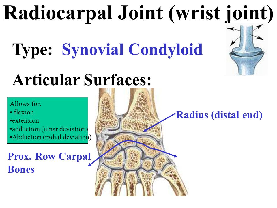 Radiocarpal Joint (wrist joint)