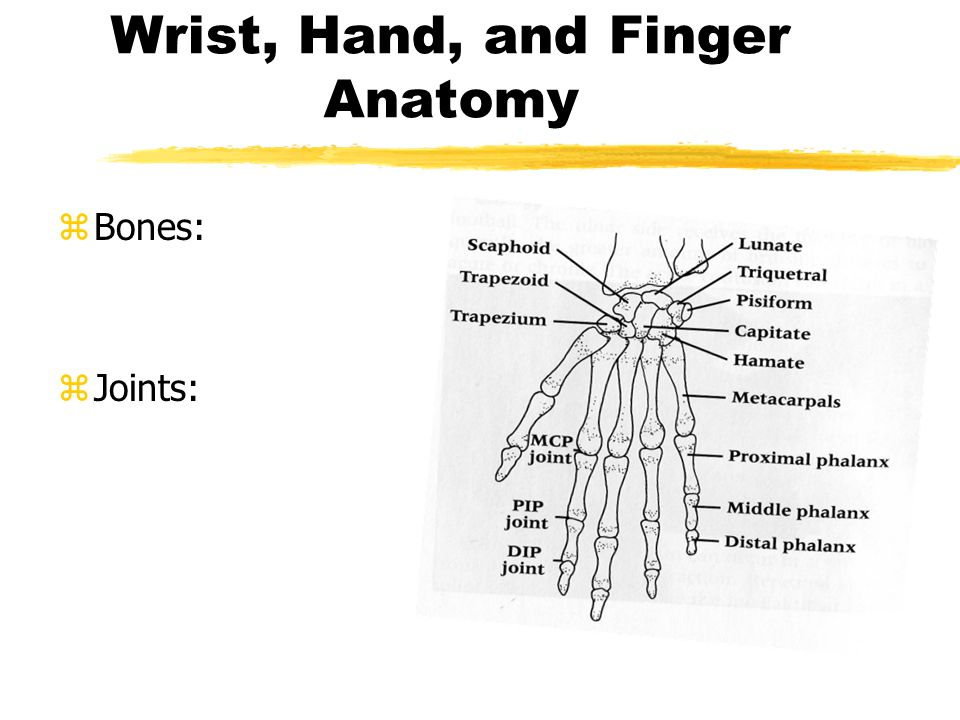 Wrist, Hand, and Finger Anatomy