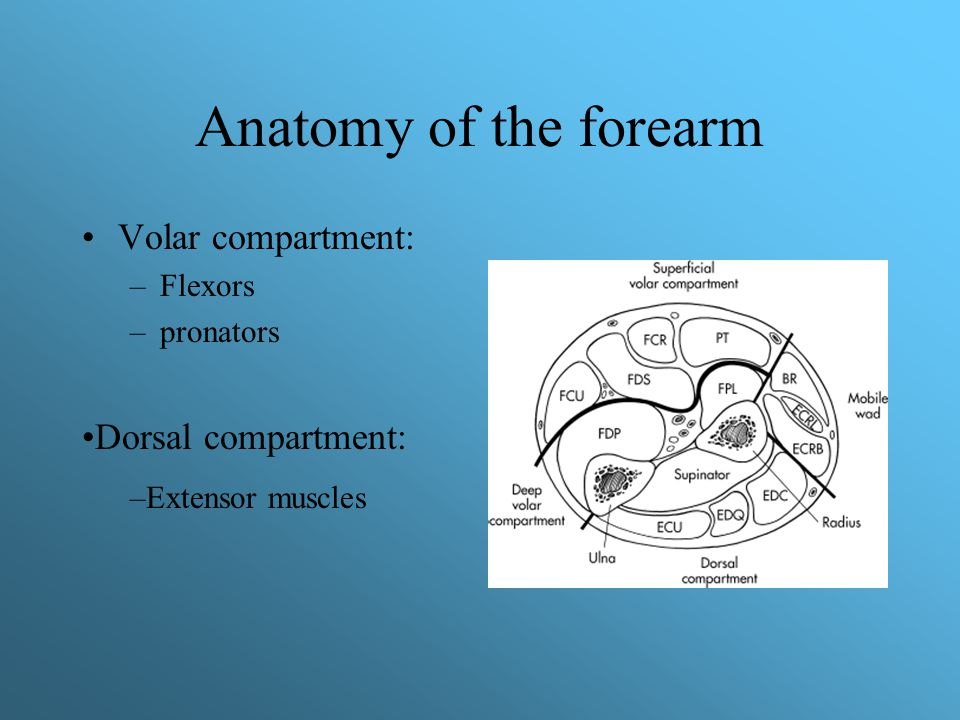 Anatomy of the forearm Volar compartment: Dorsal compartment: Flexors