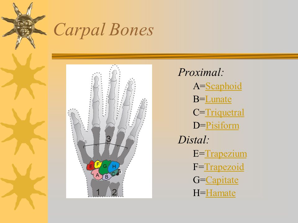 Carpal Bones Proximal: Distal: A=Scaphoid B=Lunate C=Triquetral
