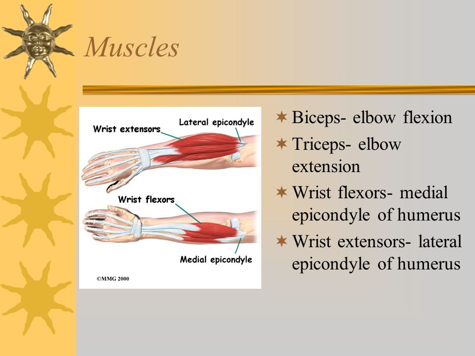 Muscles Biceps- elbow flexion Triceps- elbow extension
