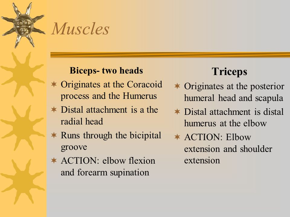 Muscles Triceps Biceps- two heads