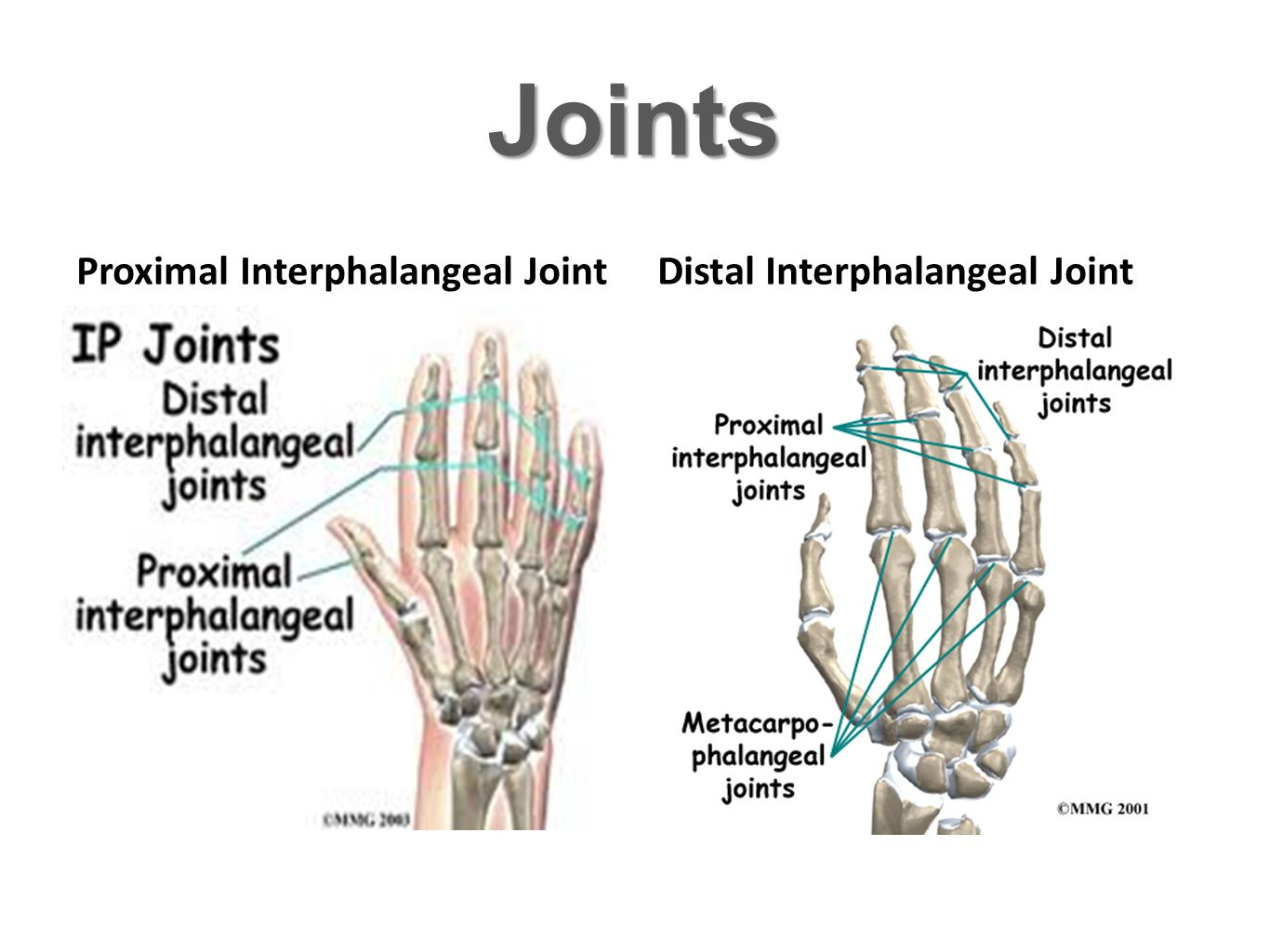 Joints Proximal Interphalangeal Joint Distal Interphalangeal Joint