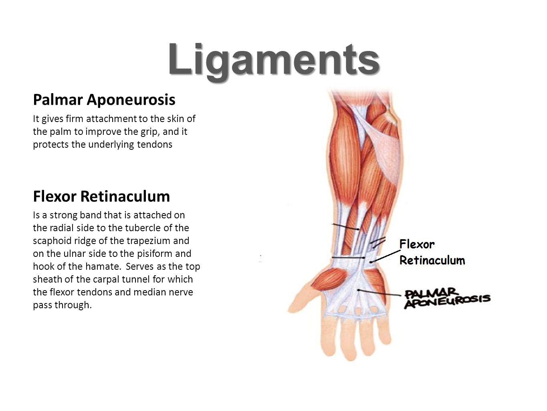Ligaments Palmar Aponeurosis Flexor Retinaculum