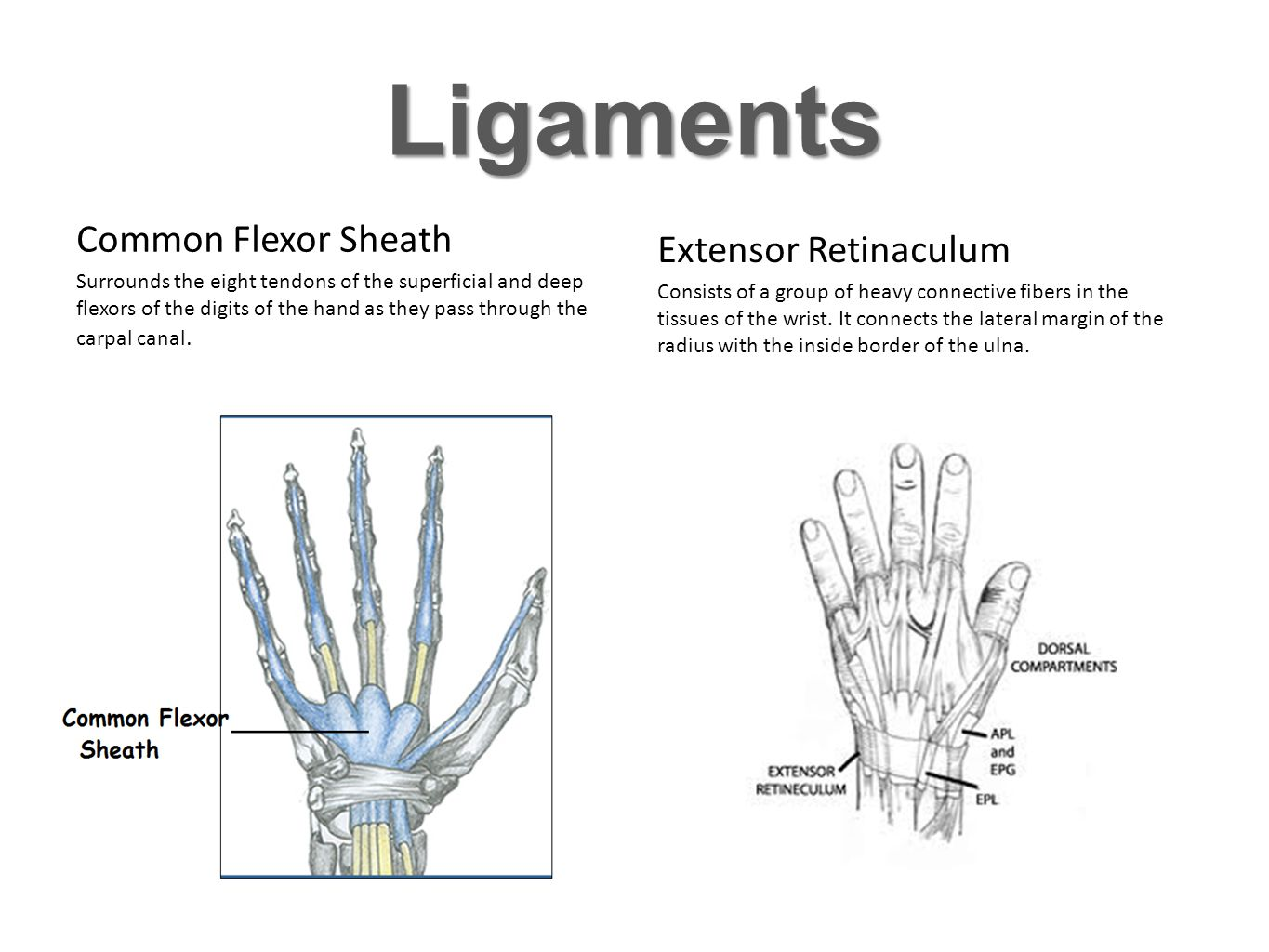 Ligaments Common Flexor Sheath Extensor Retinaculum