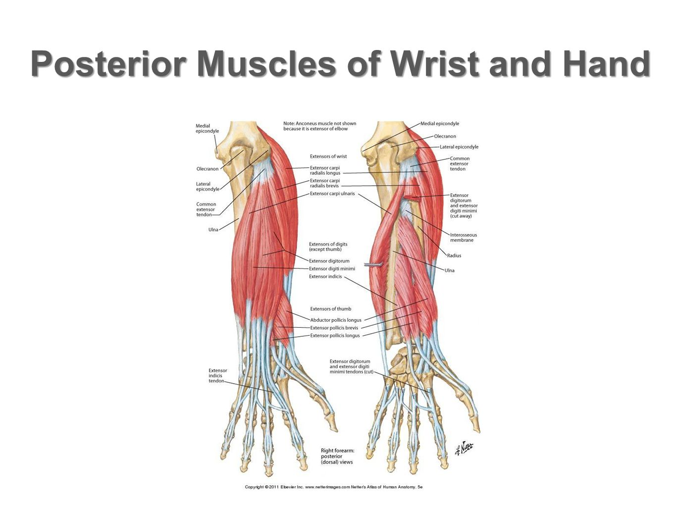 Posterior Muscles of Wrist and Hand
