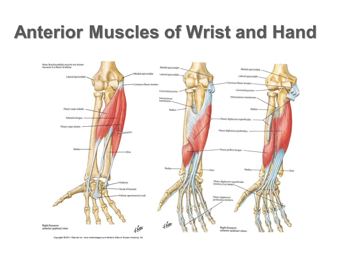Anterior Muscles of Wrist and Hand