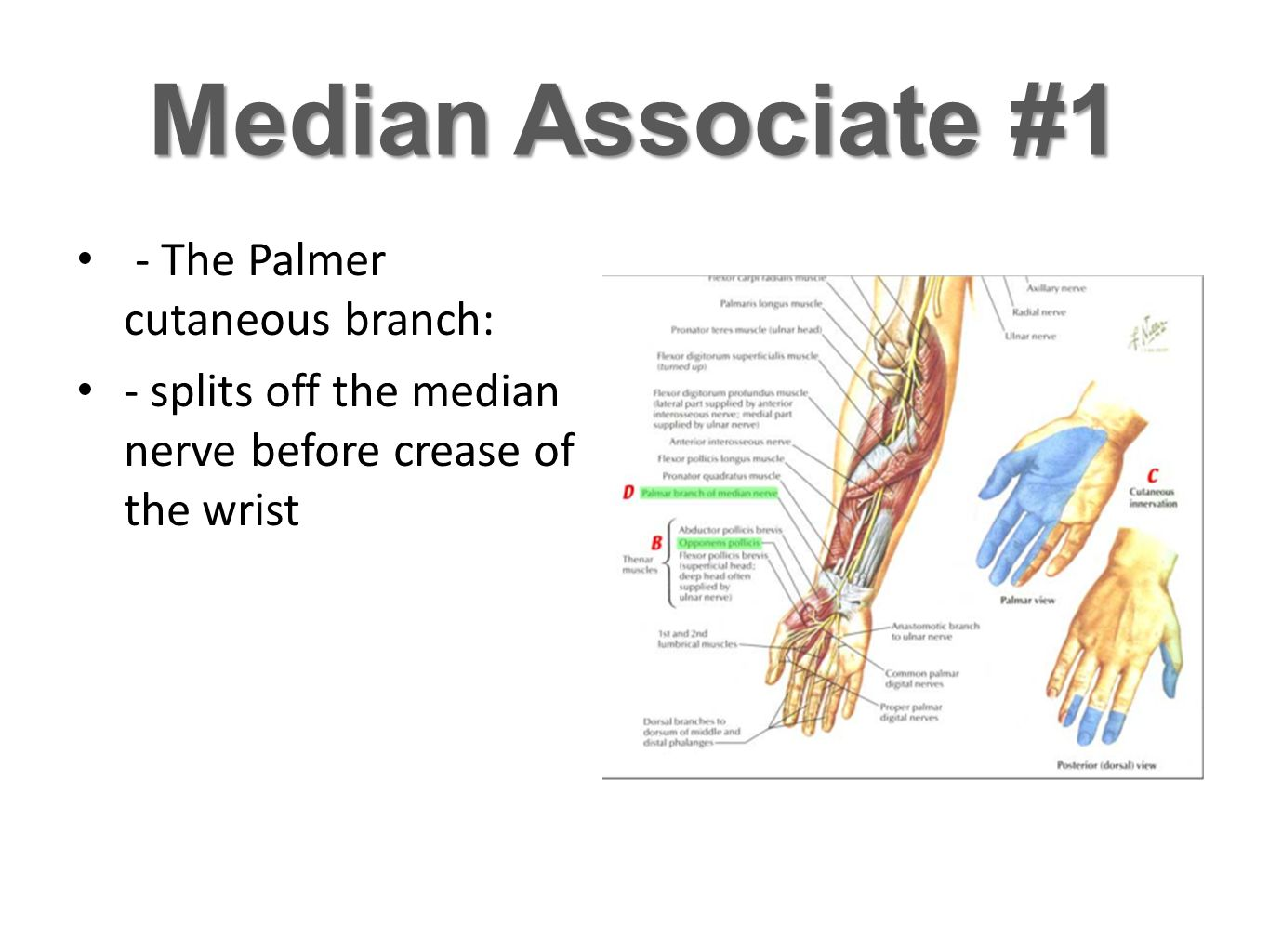 Median Associate #1 - The Palmer cutaneous branch: