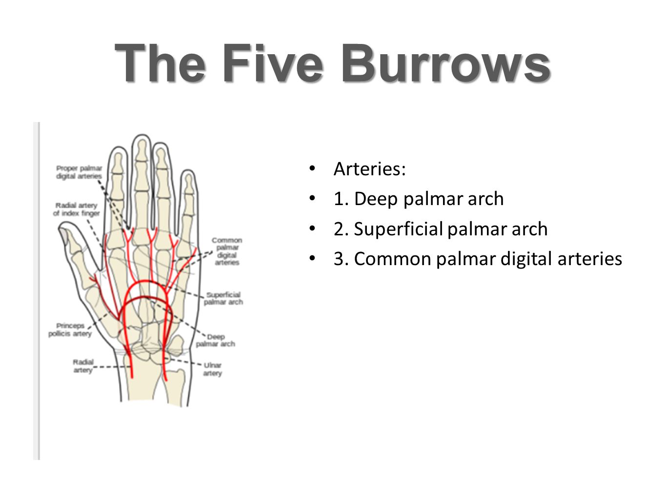 The Five Burrows Arteries: 1. Deep palmar arch