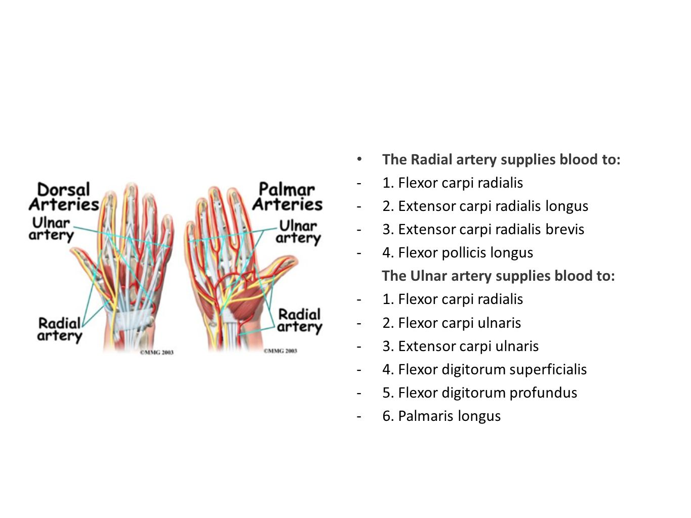 The Radial artery supplies blood to: