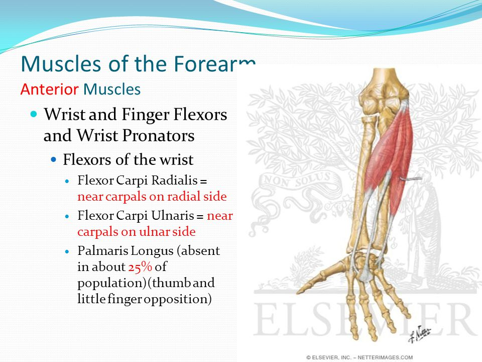 Muscles of the Forearm Anterior Muscles