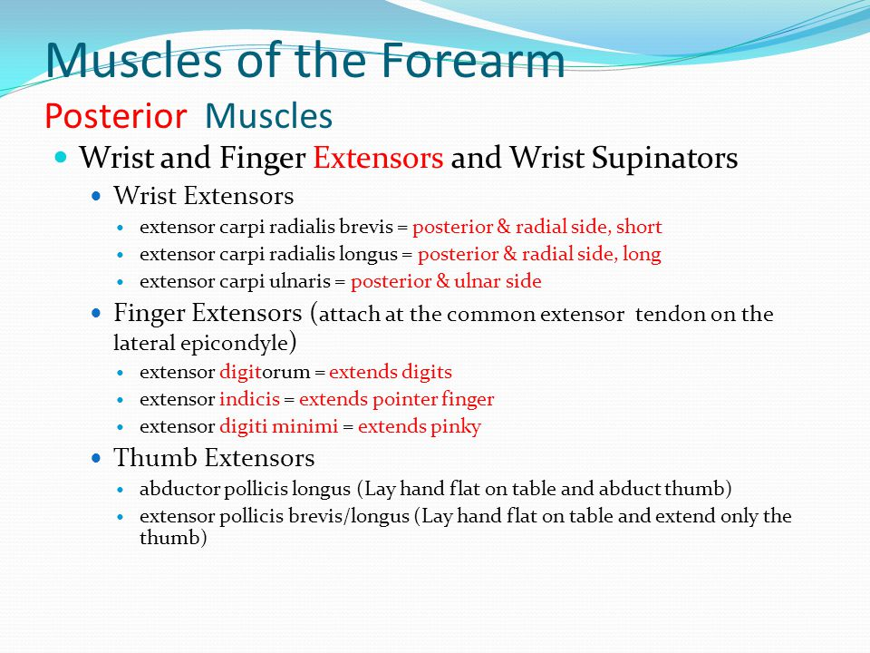 Muscles of the Forearm Posterior Muscles