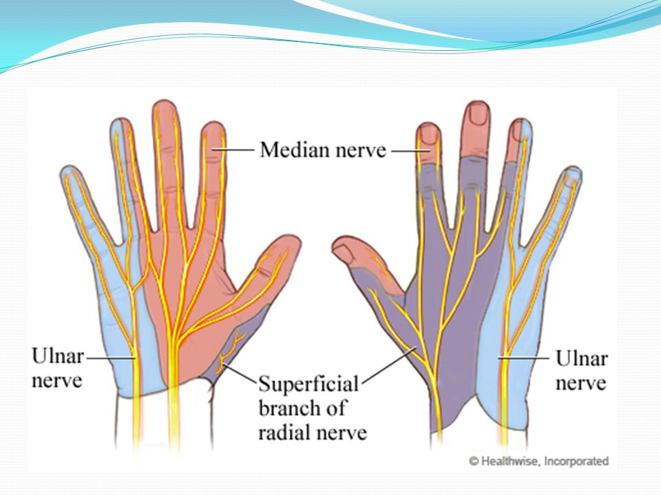 Nerve Distribution of the Hand