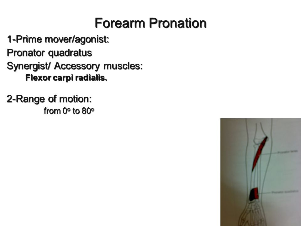 Forearm Pronation 1-Prime mover/agonist: Pronator quadratus