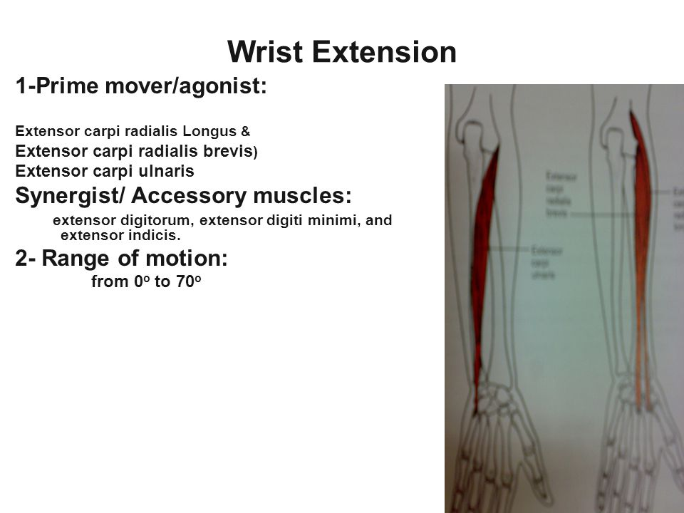Wrist Extension 1-Prime mover/agonist: Synergist/ Accessory muscles: