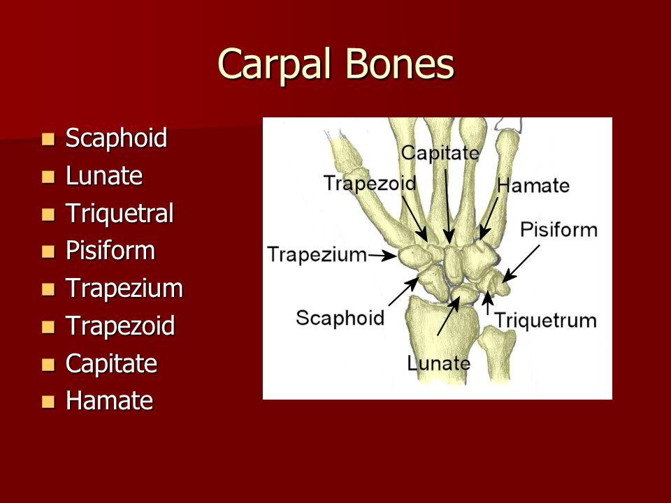 Carpal Bones Scaphoid Lunate Triquetral Pisiform Trapezium Trapezoid