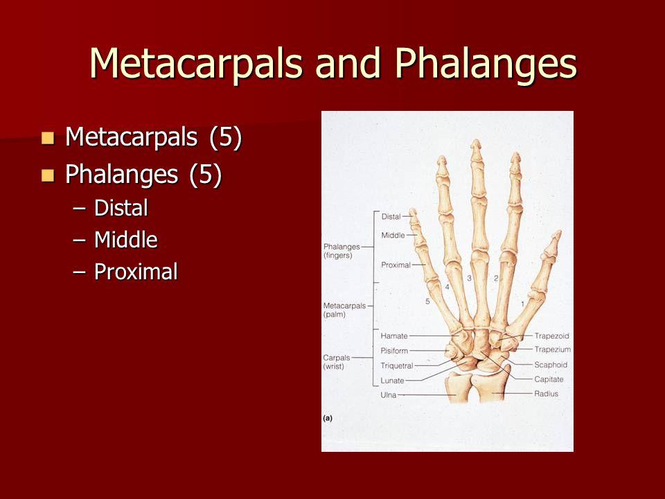 Metacarpals and Phalanges