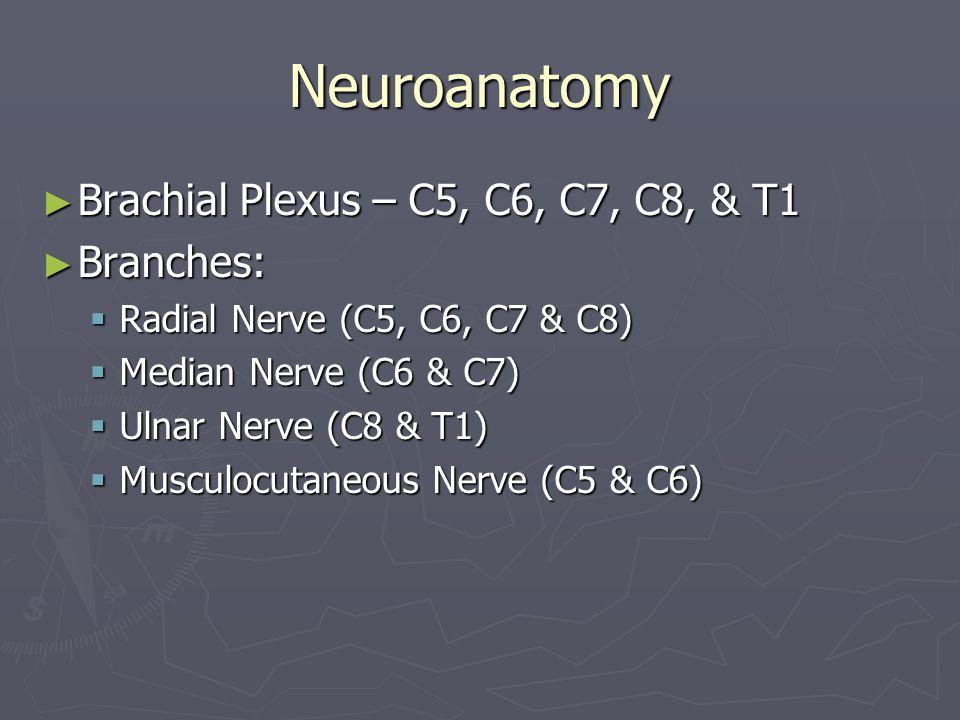 Neuroanatomy Brachial Plexus – C5, C6, C7, C8, & T1 Branches: