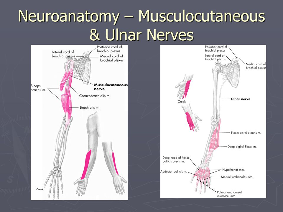 Neuroanatomy – Musculocutaneous & Ulnar Nerves