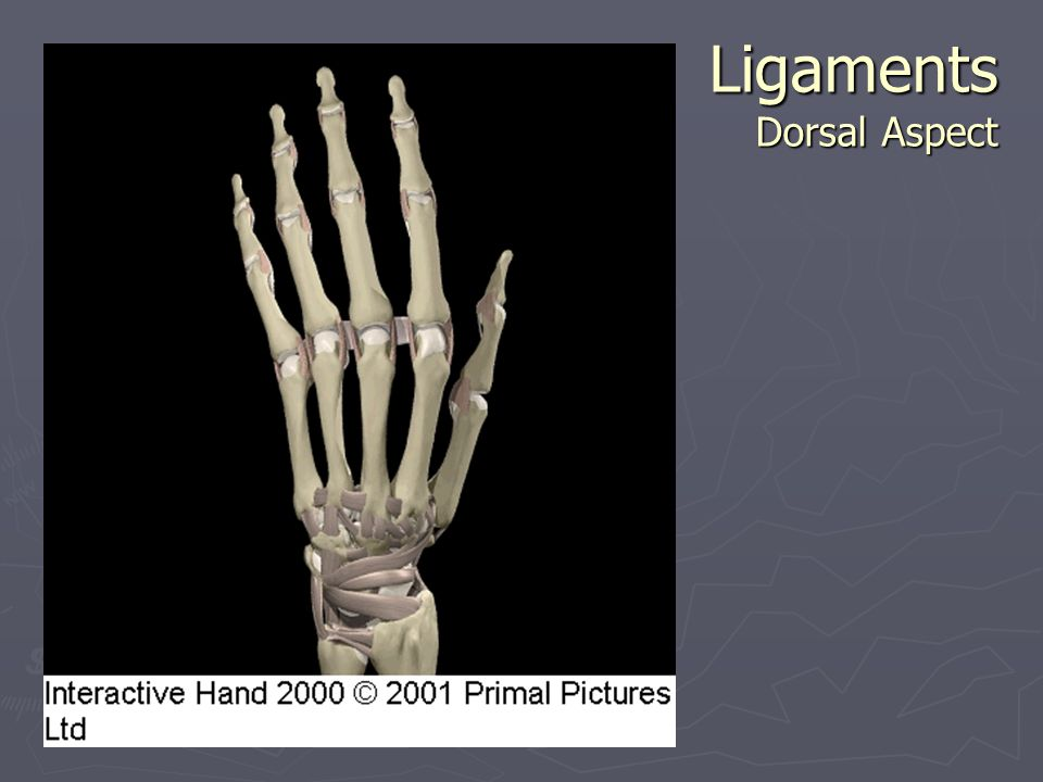 Ligaments Dorsal Aspect