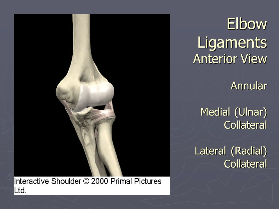 Elbow Ligaments Anterior View Annular Medial (Ulnar) Collateral Lateral (Radial) Collateral