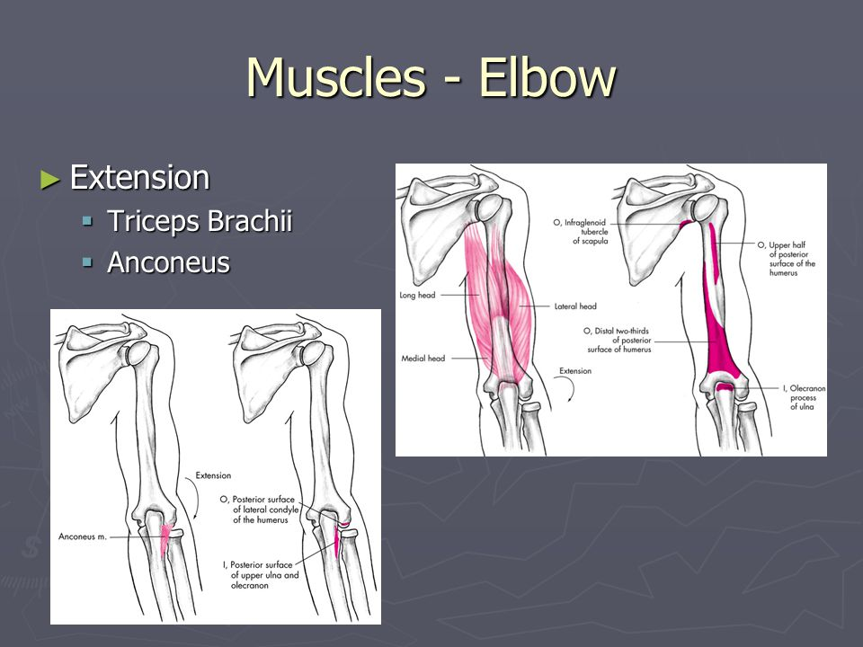 Muscles - Elbow Extension Triceps Brachii Anconeus