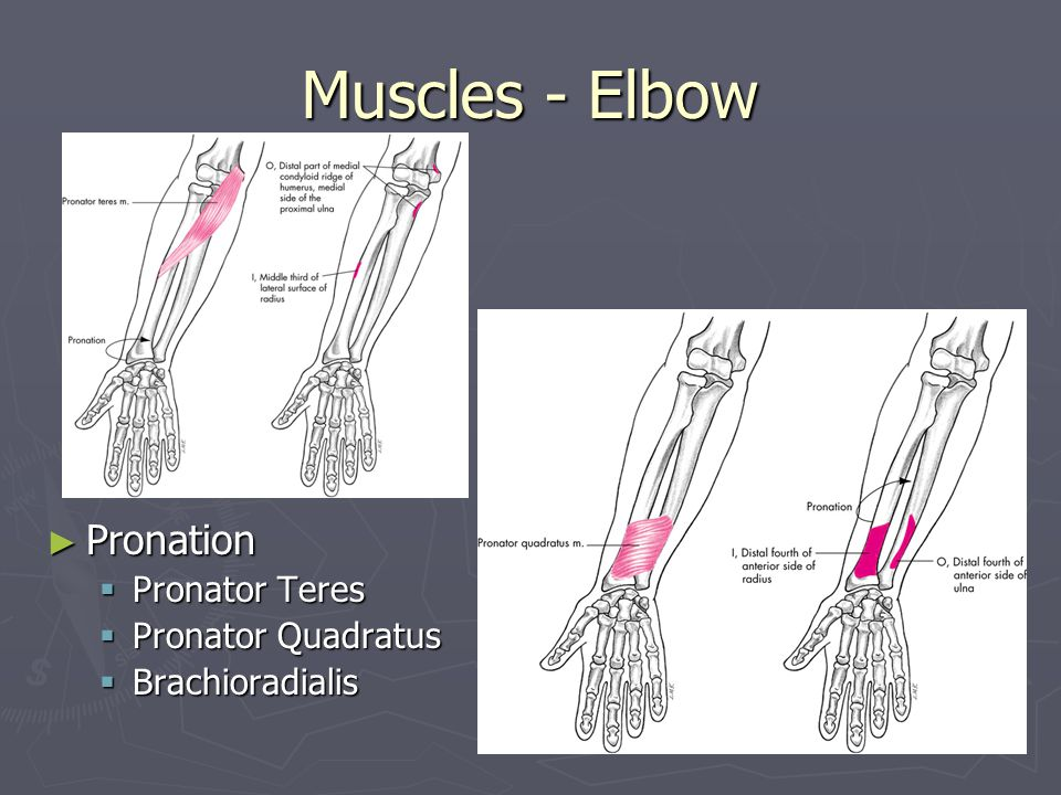 Muscles - Elbow Pronation Pronator Teres Pronator Quadratus