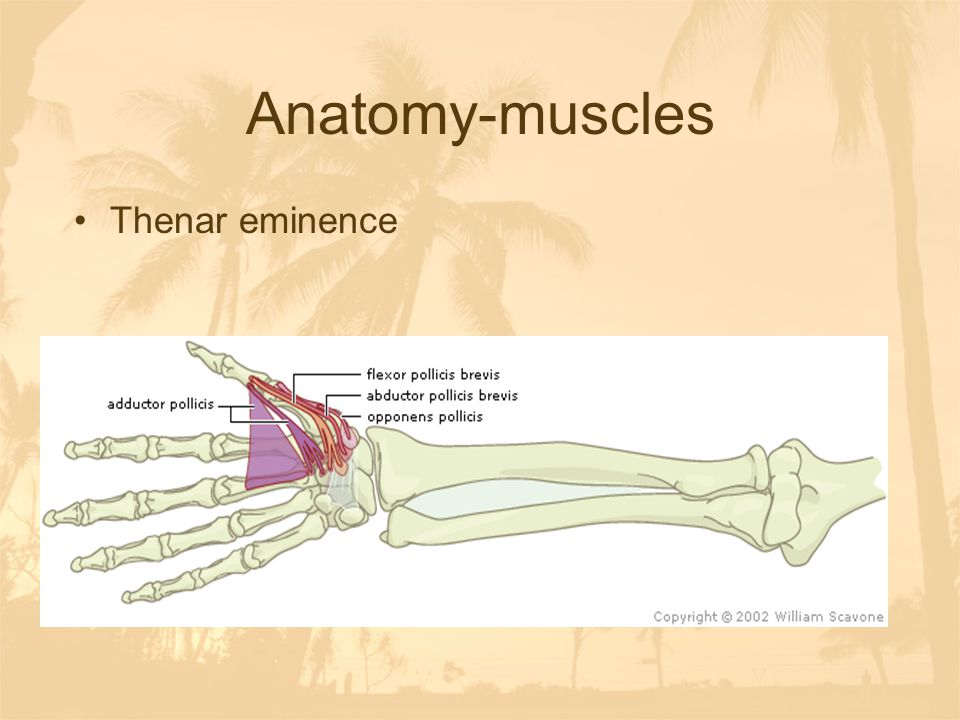 Anatomy-muscles Thenar eminence