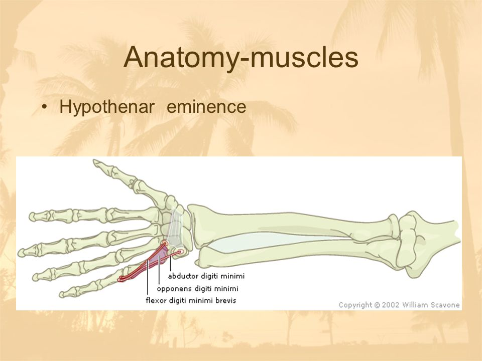 Anatomy-muscles Hypothenar eminence