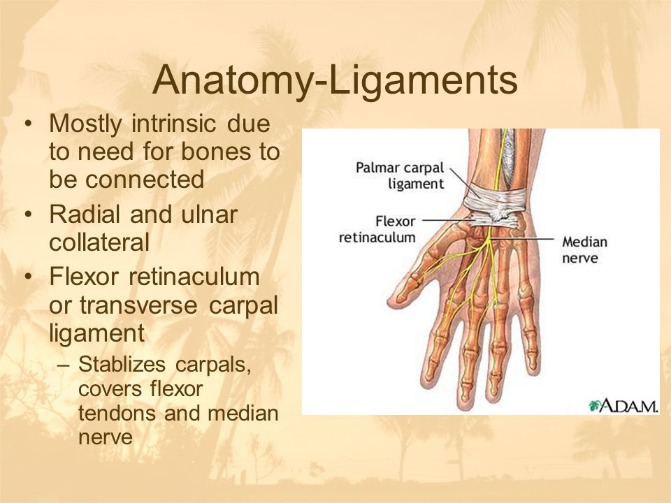 Anatomy-Ligaments Mostly intrinsic due to need for bones to be connected. Radial and ulnar collateral.