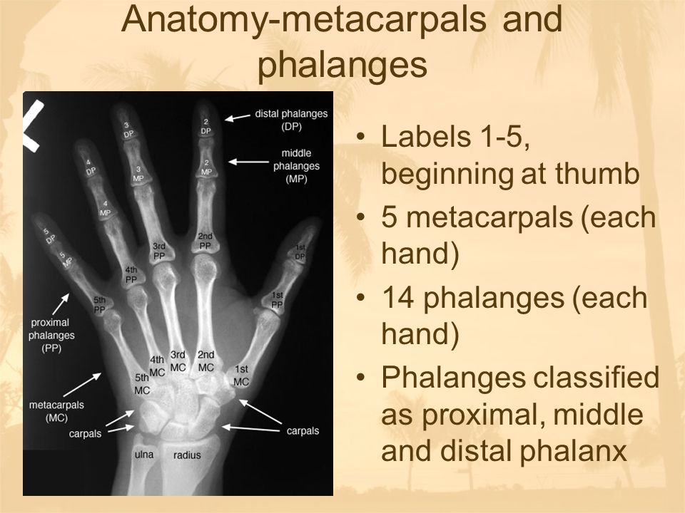 Anatomy-metacarpals and phalanges