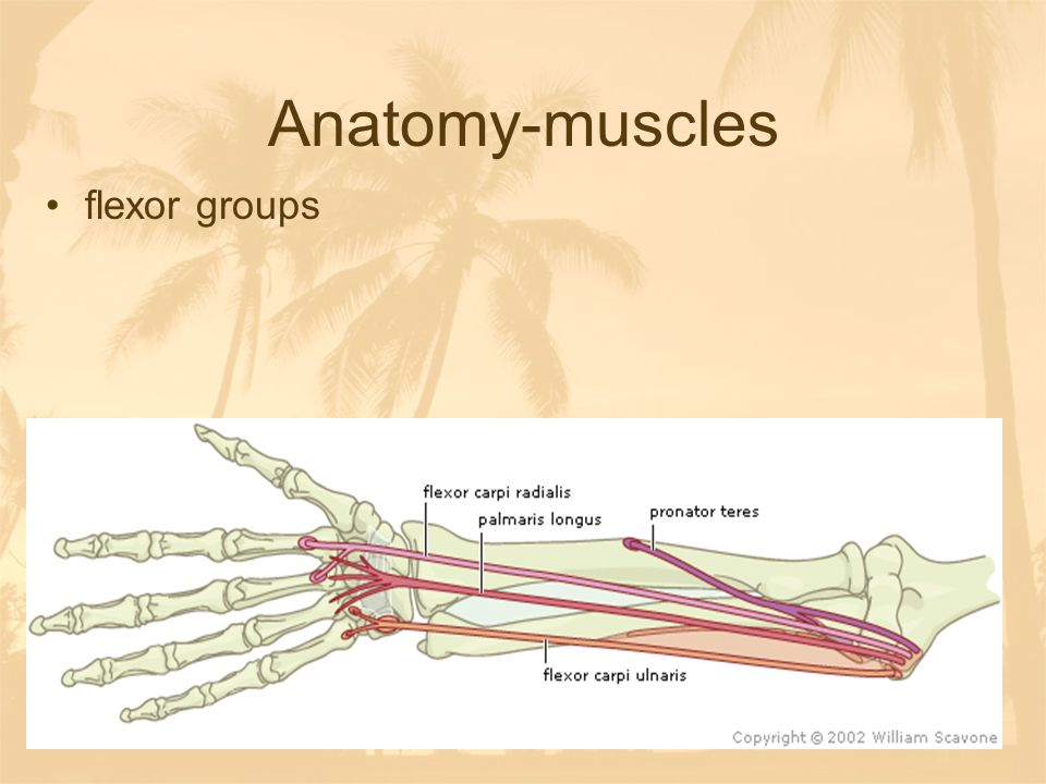 Anatomy-muscles flexor groups