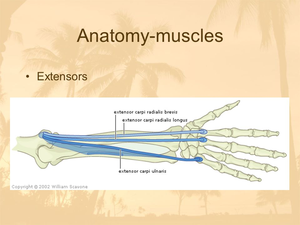 Anatomy-muscles Extensors