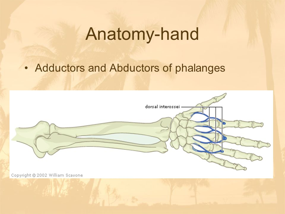 Anatomy-hand Adductors and Abductors of phalanges