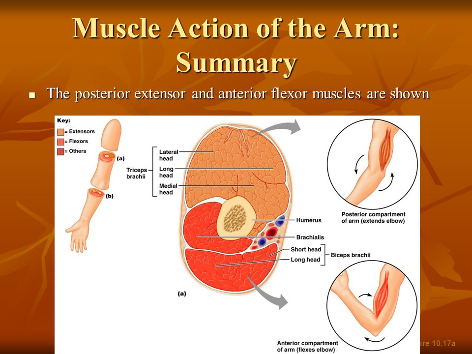 Muscle Action of the Arm: Summary