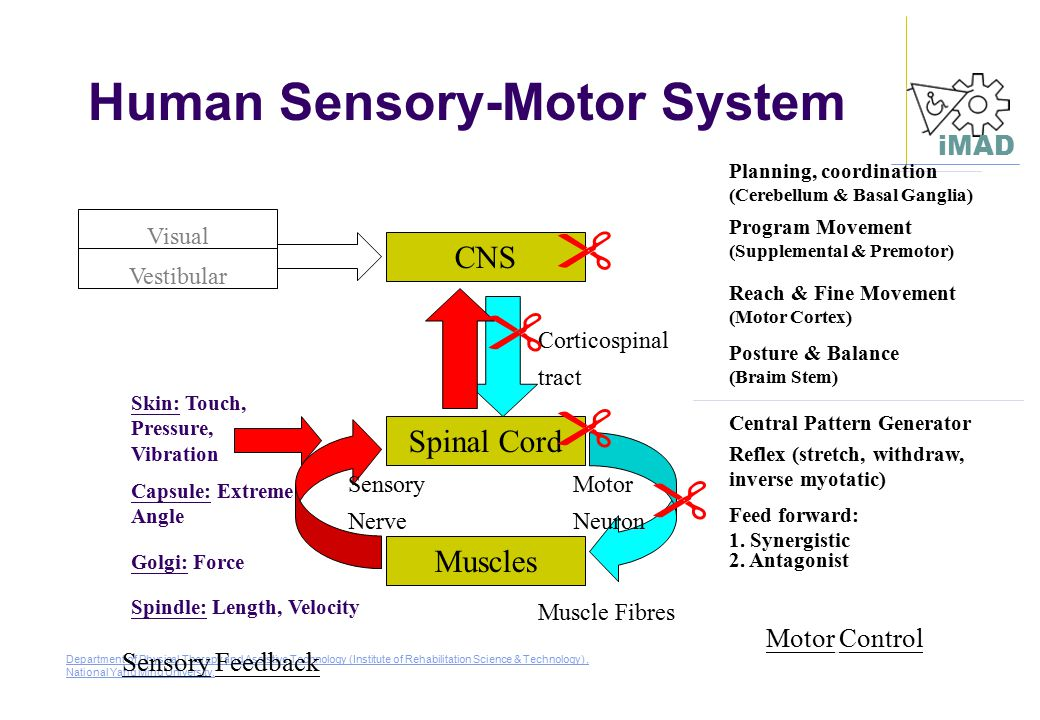 Human Sensory-Motor System