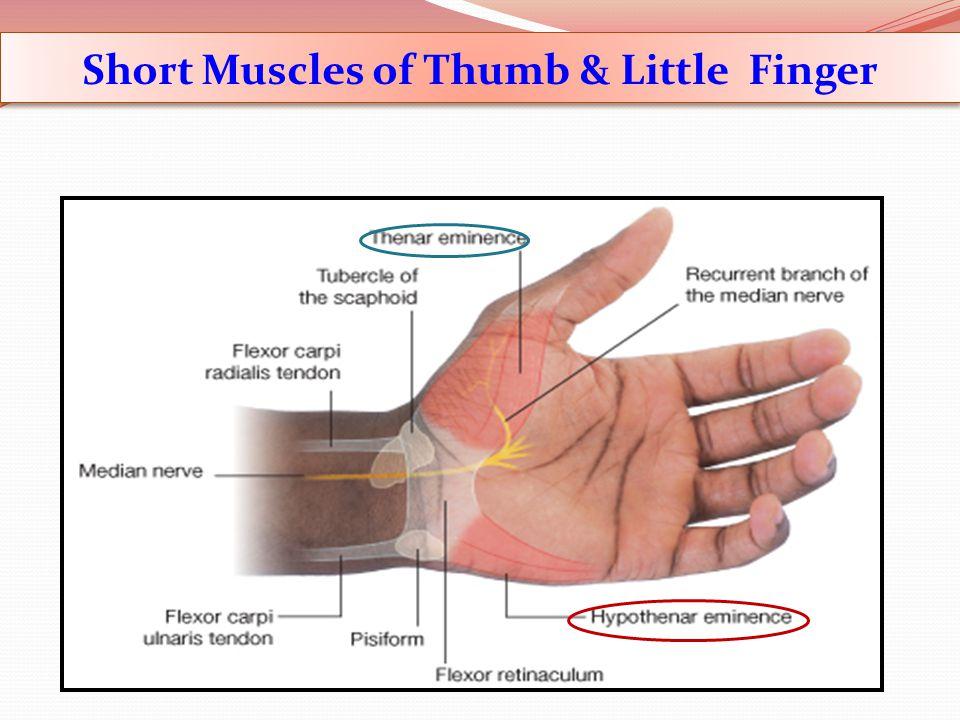 Short Muscles of Thumb & Little Finger
