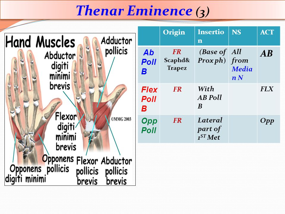 Thenar Eminence (3) AB Flex Poll ACT NS Insertion Origin
