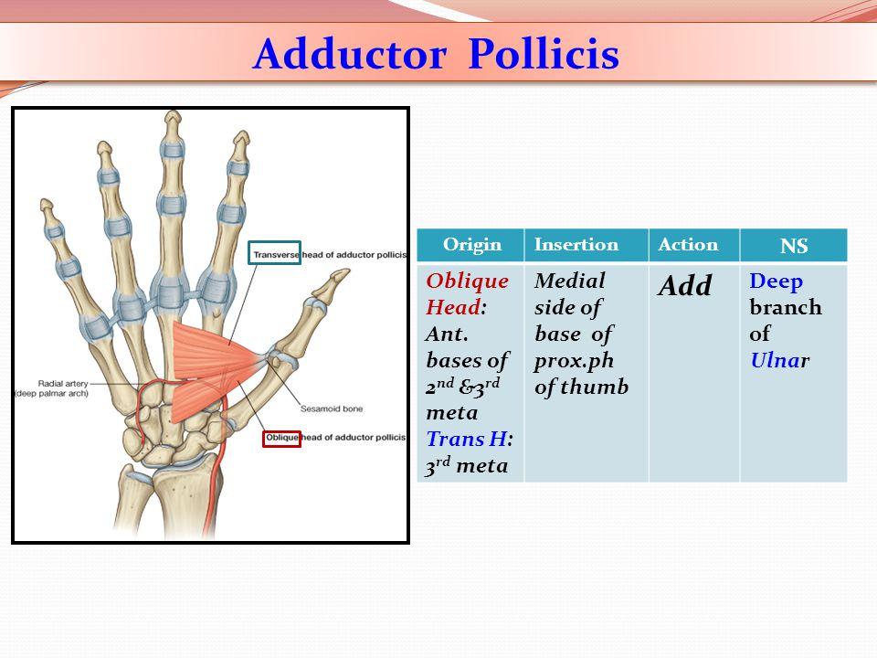 Adductor Pollicis Add NS Deep branch of Ulnar