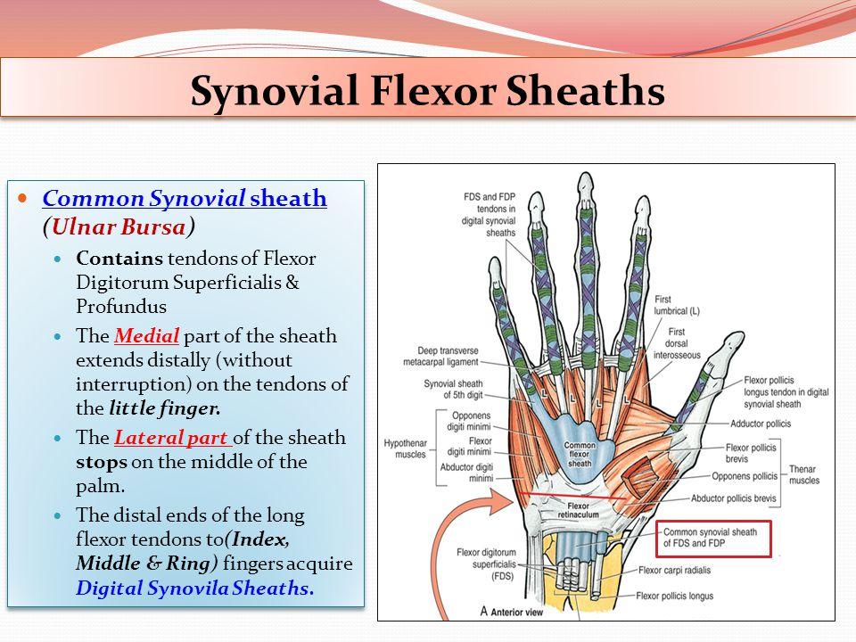 Synovial Flexor Sheaths