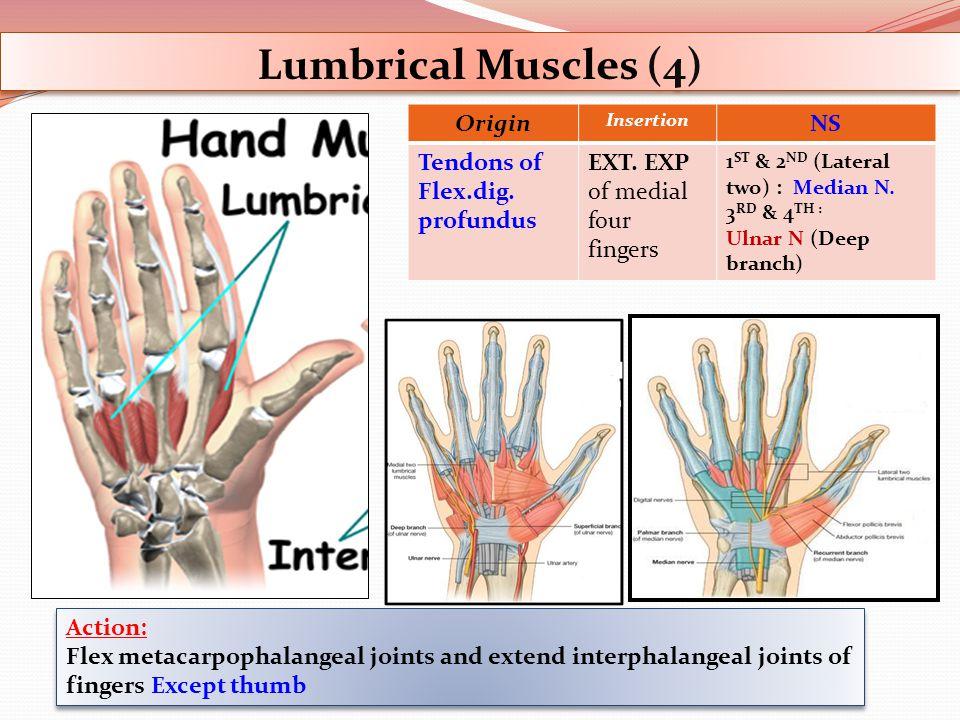 Lumbrical Muscles (4) Origin NS Tendons of Flex.dig. profundus