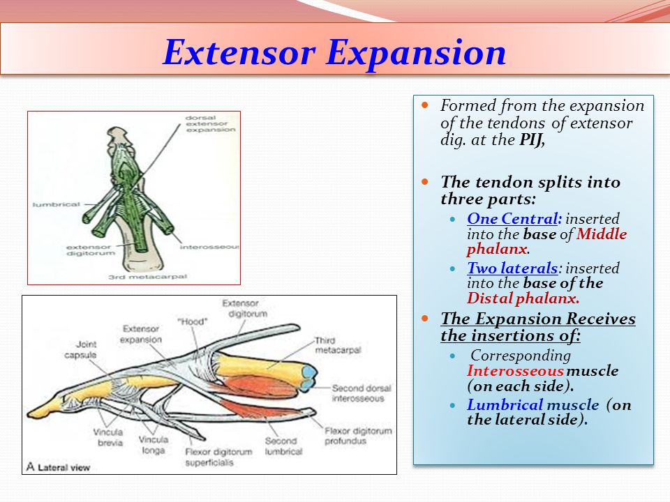 Extensor Expansion Formed from the expansion of the tendons of extensor dig. at the PIJ, The tendon splits into three parts:
