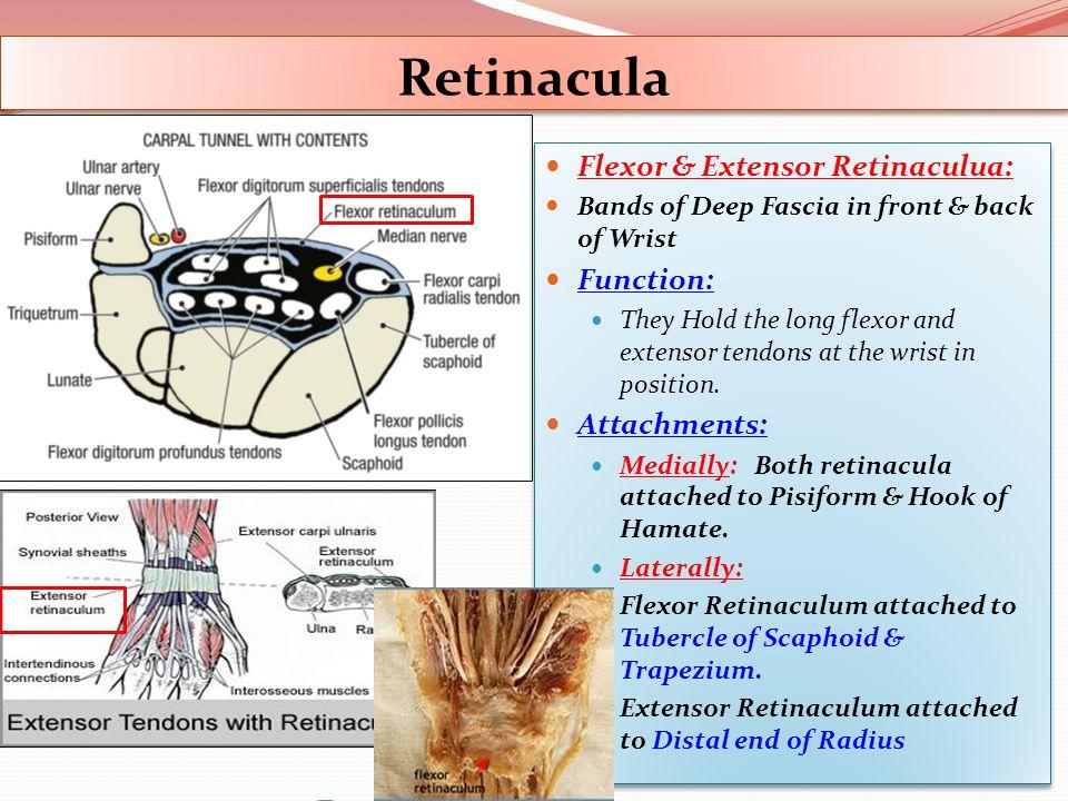 Retinacula Flexor & Extensor Retinaculua: Function: Attachments: