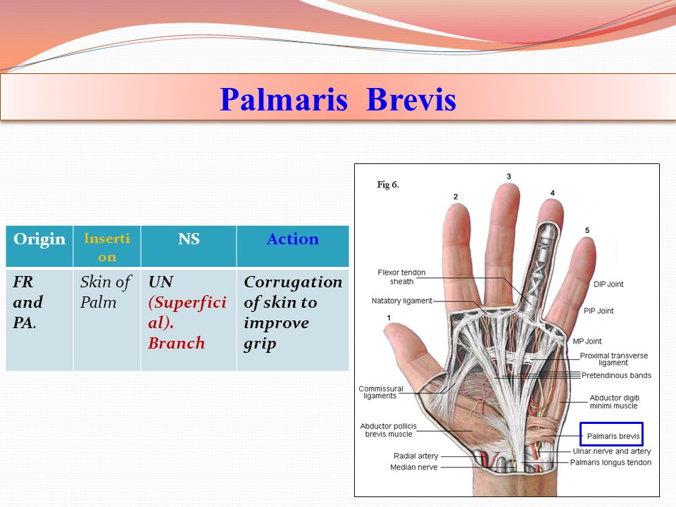 Palmaris Brevis Origin NS Action FR and PA. Skin of Palm UN