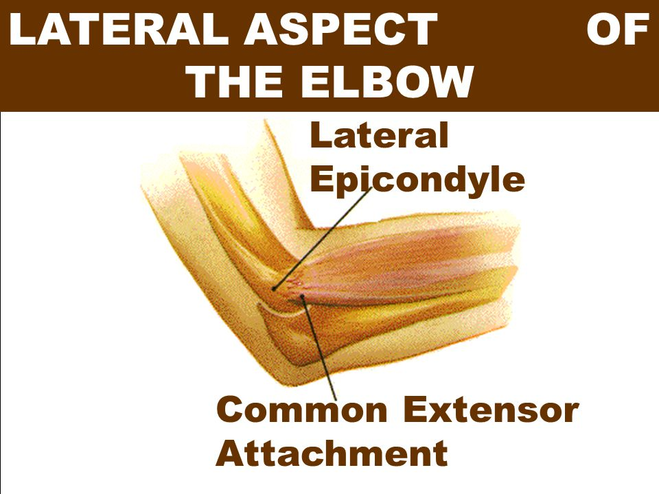 LATERAL ASPECT OF THE ELBOW