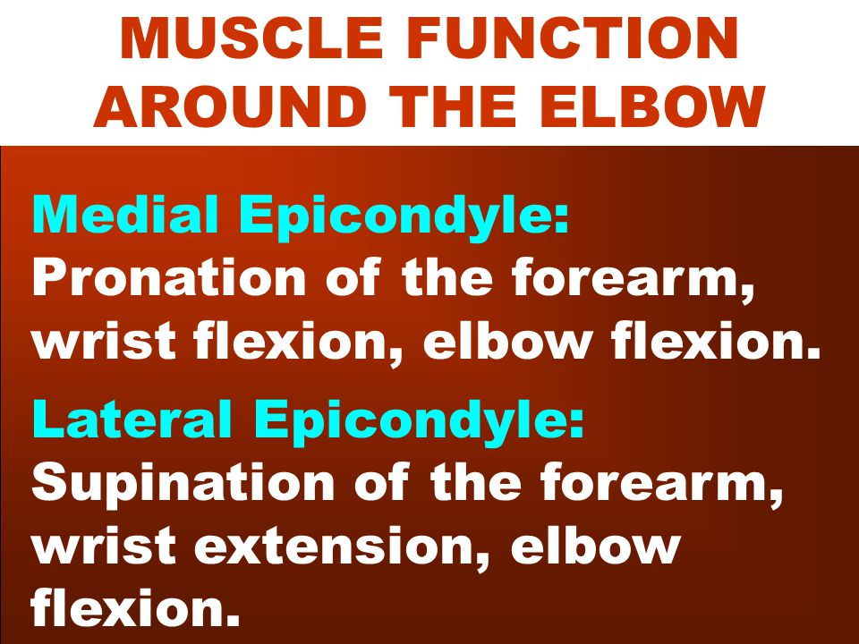 MUSCLE FUNCTION AROUND THE ELBOW