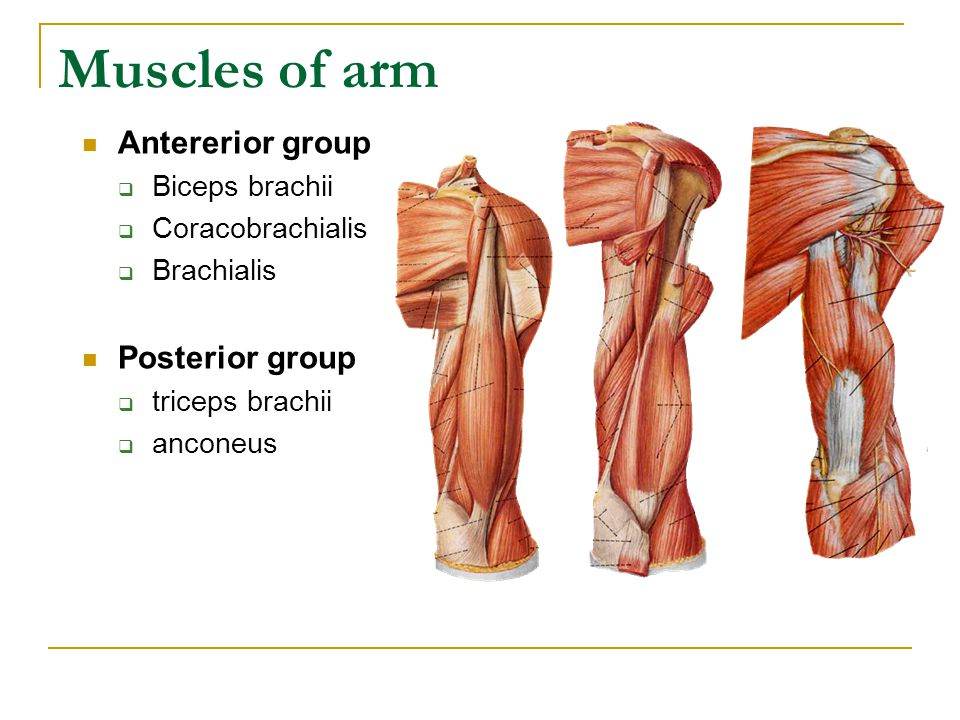 Muscles of arm Antererior group Posterior group Biceps brachii
