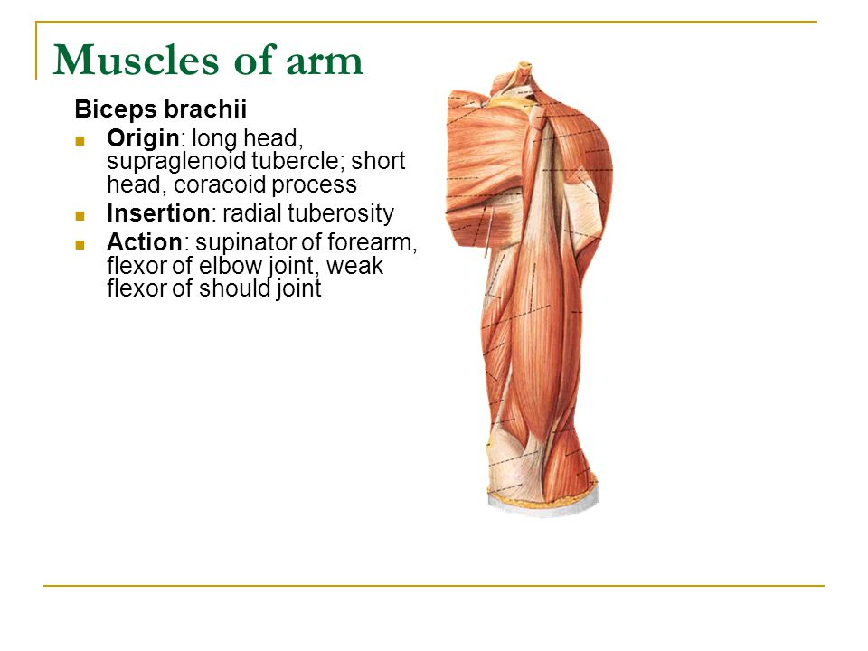 Muscles of arm Biceps brachii